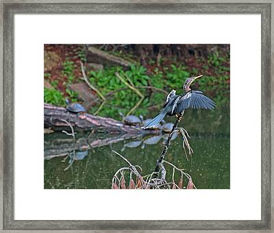 Bird And Turtles On Jekyll Island Framed Print by Bruce Gourley