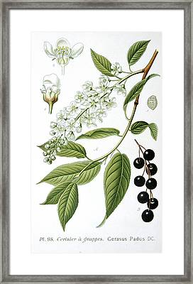 Bird Cherry Cerasus Padus Or Prunus Padus Framed Print by Anonymous