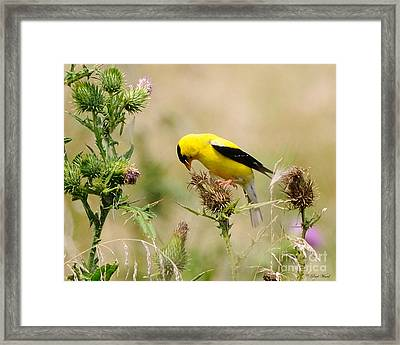 Bird -gold Finch Feasting  Framed Print by Paul Ward