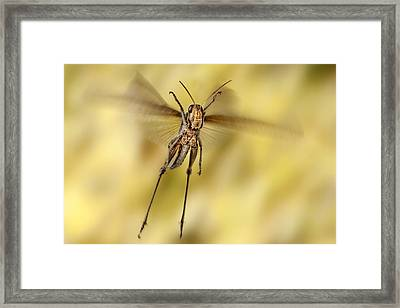 Bird Grasshopper In Flight Framed Print by Robert Jensen