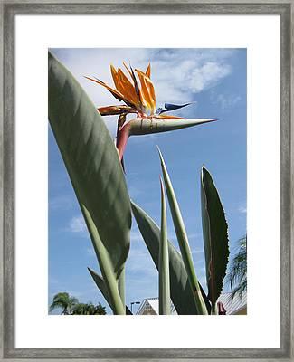 Bird Of Paradise Framed Print by Brenda Burns