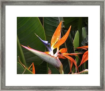 Bird Of Paradise Flowers Framed Print by Kim Bemis