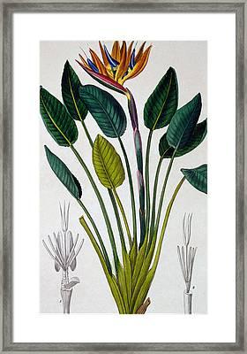 Bird Of Paradise Framed Print by Pancrace Bessa