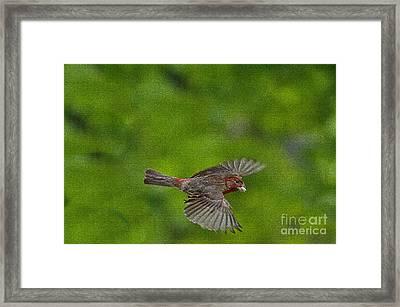 Bird Soaring With Food In Beak Framed Print by Dan Friend