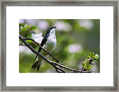 Swallow Song Framed Print by Christina Rollo