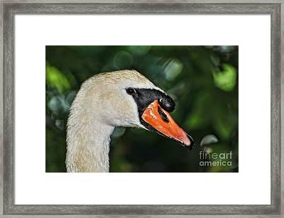 Bird - Swan - Mute Swan Close Up Framed Print by Paul Ward