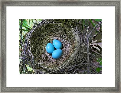 Birds Nest American Robin Framed Print by Christina Rollo