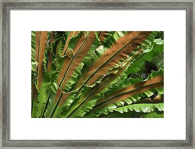 Bird's Nest Fern (asplenium Nidus) Framed Print by Maria Mosolova