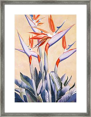 Birds Of Paradise Framed Print by Mary Helmreich