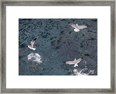 Birds Taking Advantage Of Feeding Time  Framed Print by Susan Stone