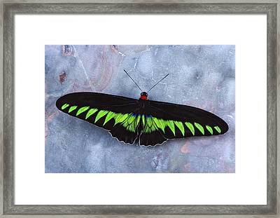 Birdwing Butterfly Trogonoptera  Framed Print by Robert Jensen