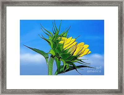 Birth Of A Sunflower By Kaye Menner Framed Print by Kaye Menner