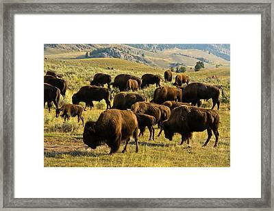 Bison Feeding, Lamar Valley Framed Print by Michel Hersen