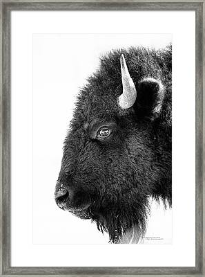 Bison Formal Portrait Framed Print by Dustin Abbott