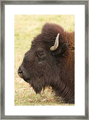 Bison Headshot Profile Framed Print by James BO  Insogna