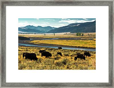 Bison Herd, Feeding, Lamar River, Lamar Framed Print by Michel Hersen