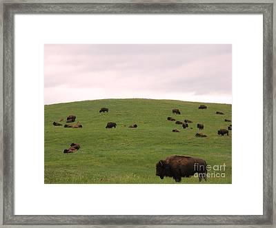 Bison Herd Framed Print by Olivier Le Queinec