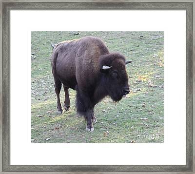 Bison Framed Print by John Telfer