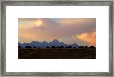 Bison March Framed Print by Patrick J Osborne