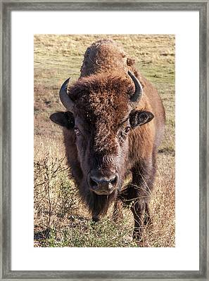 Bison Yellowstone National Park Wyoming Framed Print by Tom Norring