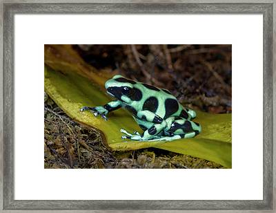 Black And Green Poison-dart Frog Framed Print by Thomas Wiewandt
