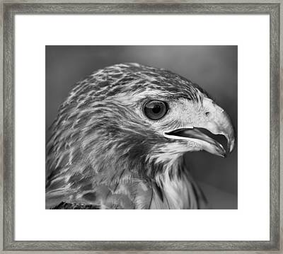 Black And White Hawk Portrait Framed Print by Dan Sproul