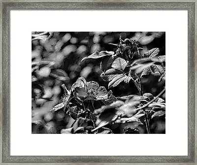 Black And White Monochromatic Two Dogroses Summer 2014 Framed Print by Leif Sohlman