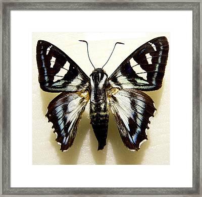 Black And White Moth Framed Print by Rosalie Scanlon
