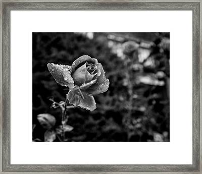 Black And White Rose In Roncesvalles Framed Print by Tanya Harrison