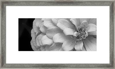 Black And White Zinnia Framed Print by Bruce Bley