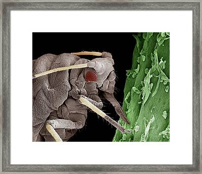 Black Aphid Feeding On Sap Framed Print by Clouds Hill Imaging Ltd