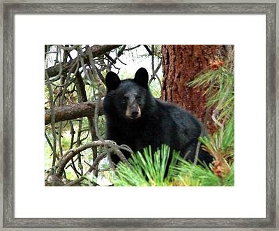 Black Bear 1 Framed Print by Will Borden