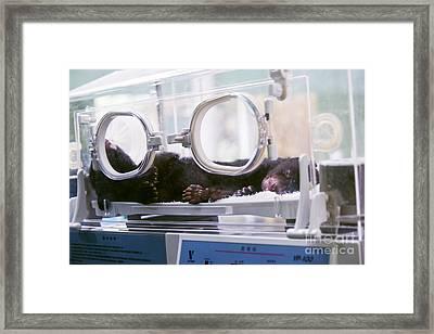 Black Bear Cub In Incubator Framed Print by Pan Xunbin