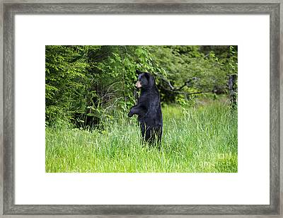 Black Bear Standing Upright Looking Framed Print by Dan Friend