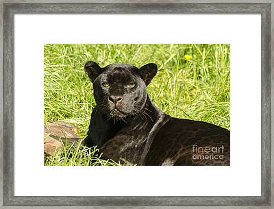Black Beauty Framed Print by Darren Wilkes