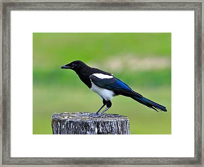 Black Billed Magpie Framed Print by Karon Melillo DeVega