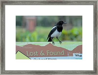 Black-billed Magpie Framed Print by Mark Newman