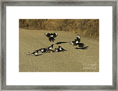 Black-billed Magpies At Roadkill Framed Print by Ron Sanford