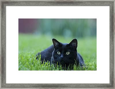 Black Cat Framed Print by Juli Scalzi