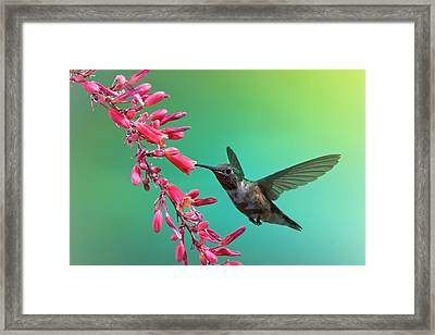 Black Chinned Hummingbird Framed Print by Mary Lee Dereske