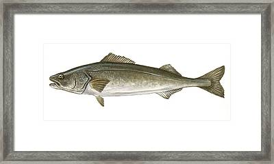Black Cod Framed Print by Logan Parsons