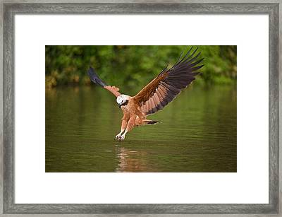Black-collared Hawk Busarellus Framed Print by Panoramic Images