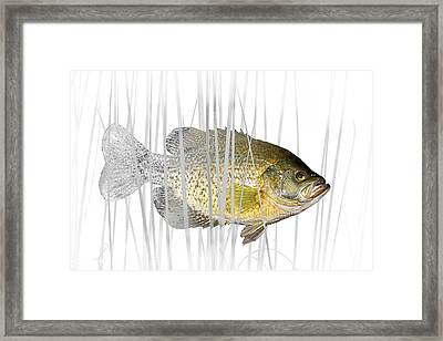 Black Crappie Pan Fish In The Reeds Framed Print by Randall Nyhof