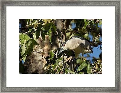 Black-crowned Heron Looking For Nesting Material Framed Print by Kathleen Bishop