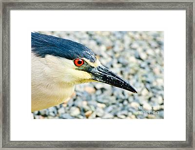 Black Crowned Night Heron 2 Framed Print by Bob and Nadine Johnston