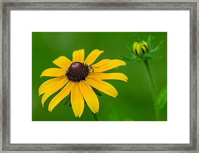 Black Eyed Susan Framed Print by Anthony Heflin