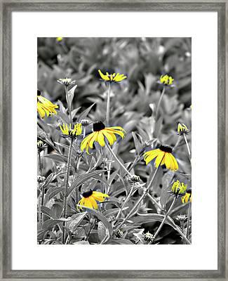 Black-eyed Susan Field Framed Print by Carolyn Marshall