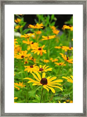 Black-eyed Susans Framed Print by Catherine Reusch  Daley