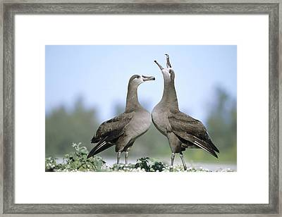 Black-footed Albatross Courtship Dance Framed Print by Tui De Roy