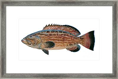Black Grouper Framed Print by Carey Chen